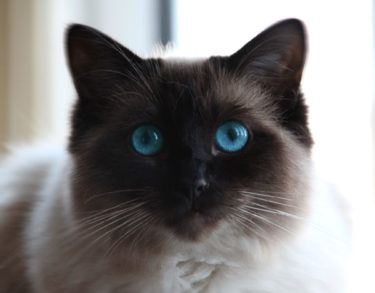 what is a ragdoll cat - millie