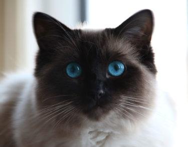 milly ragdoll cat
