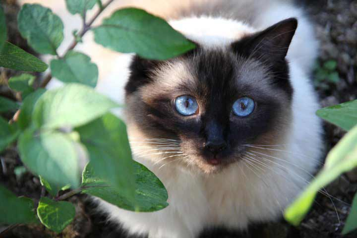 what is a ragdoll cat - beautiful baby blue eyes