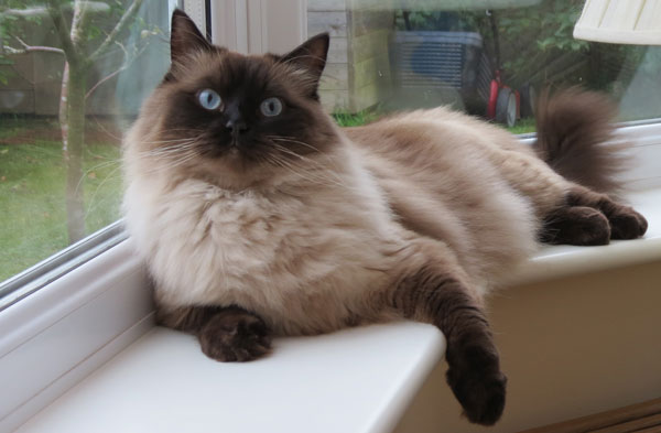 Ragdoll cats - Possibly the puurrrrfect pet!