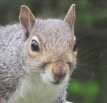 What is the healthy diet for squirrels?