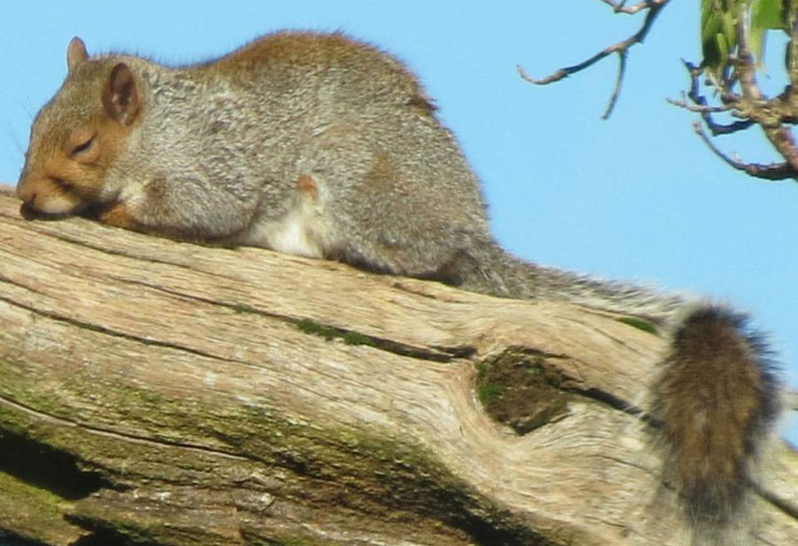 do squirrels hibernate?