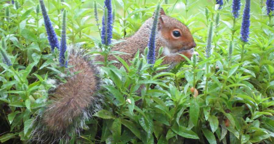 how long do squirrels live fo grey squirrel photo