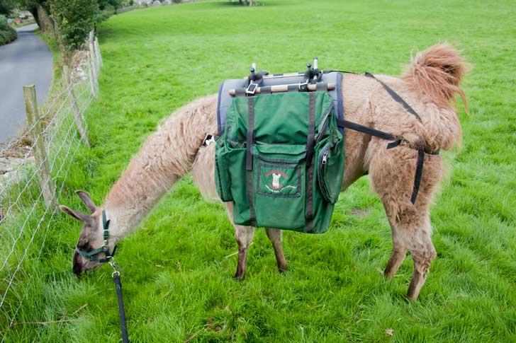 llama walking - Jack the Llama grazing