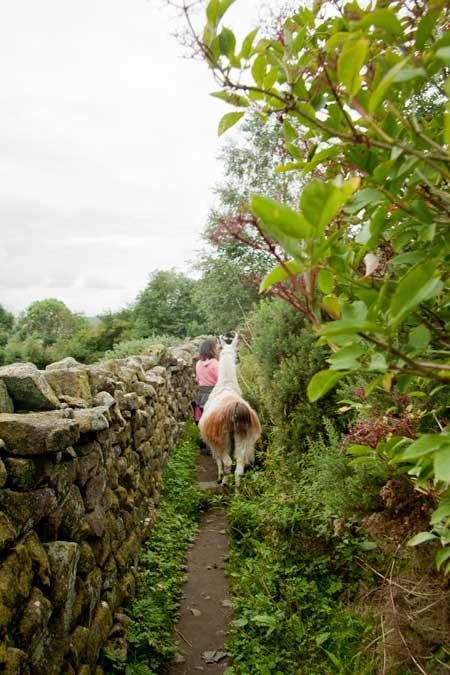 llama walking nidderdale