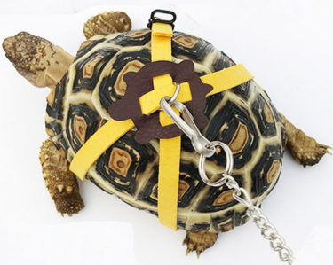 which pet tortoise
